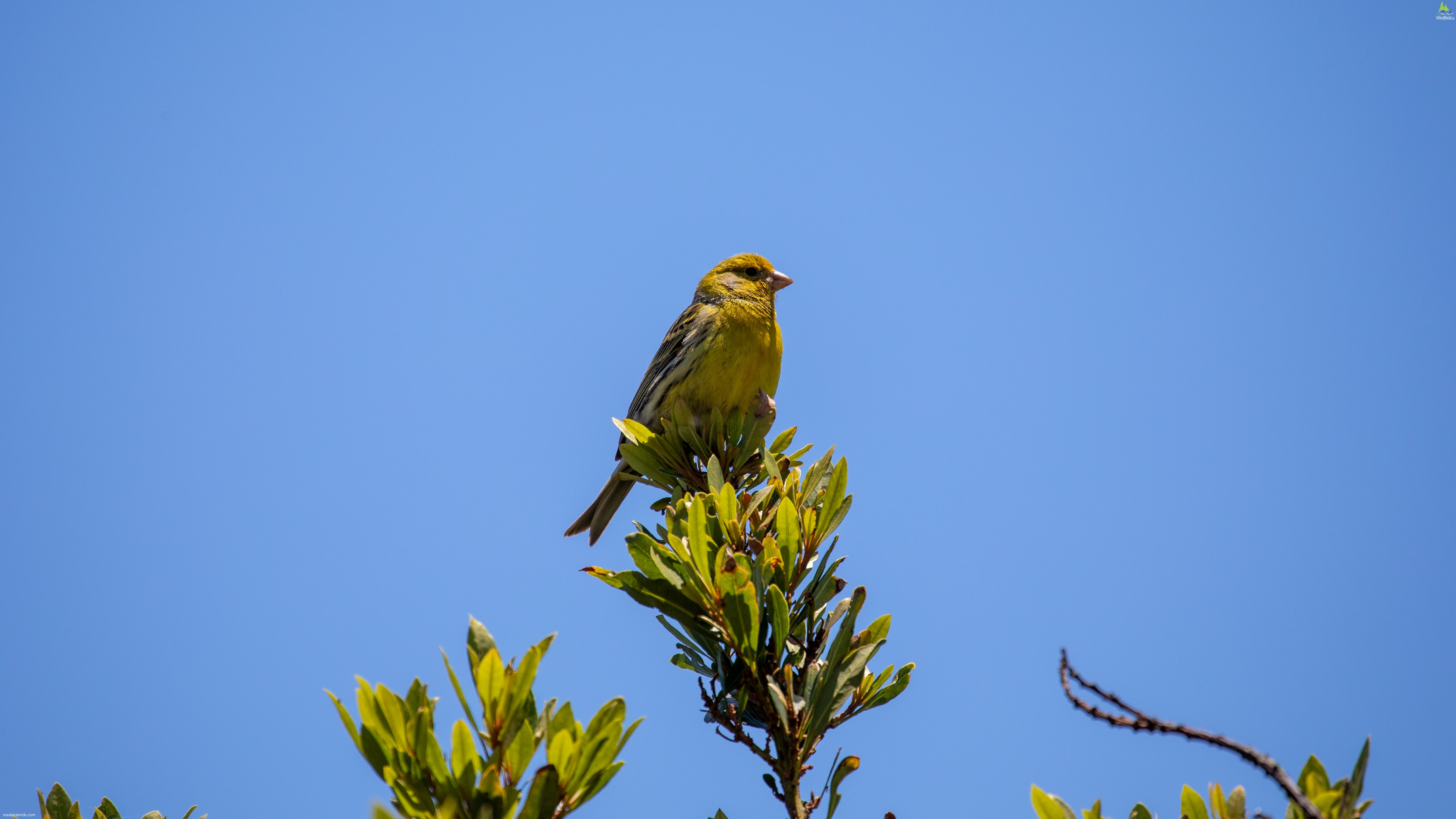 Atlantic Canary Serinus canaria