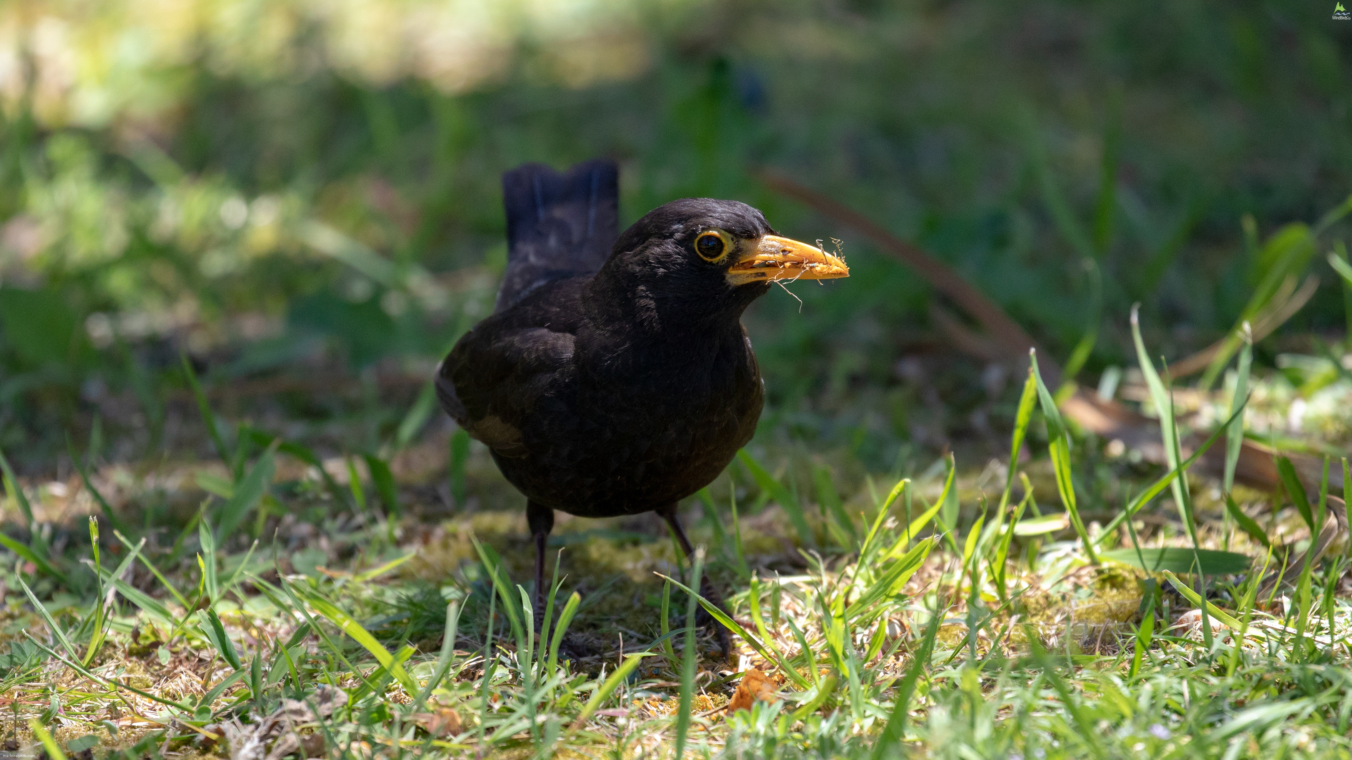 Common Blackbird Turdus merula cabrerae