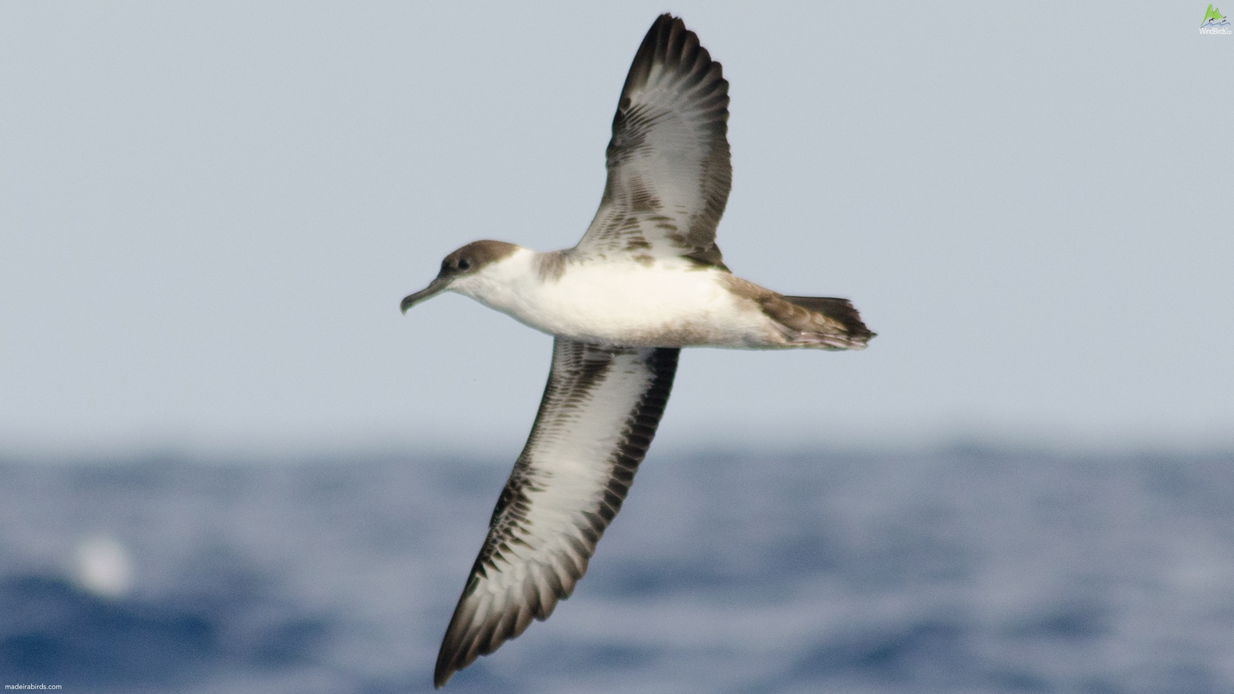 Great Shearwater Puffinus gravis