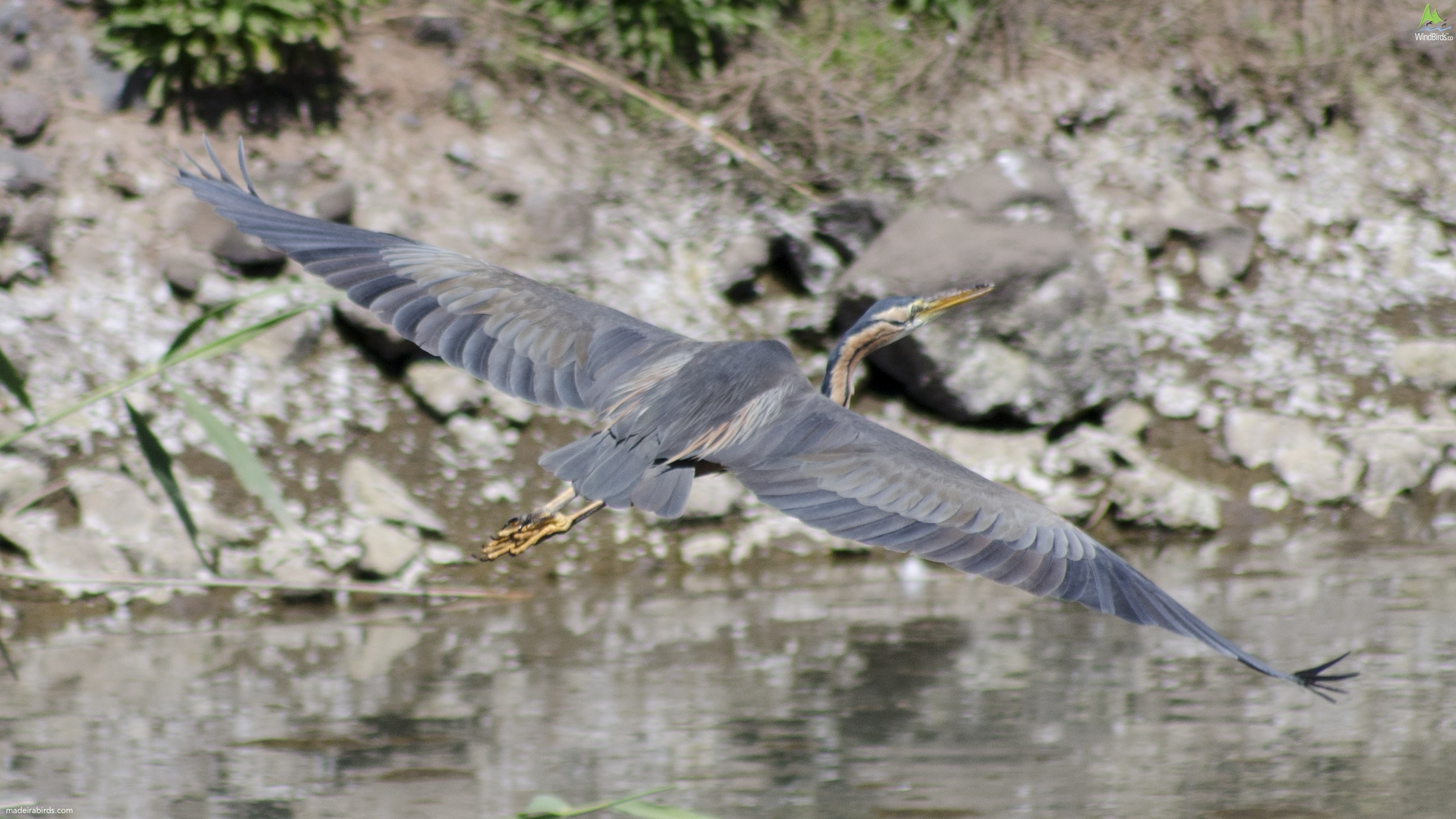 Purple Heron Ardea purpurea
